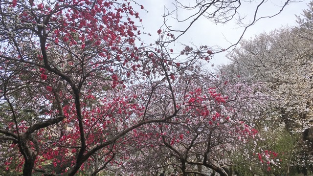 砧公園の桜・花桃