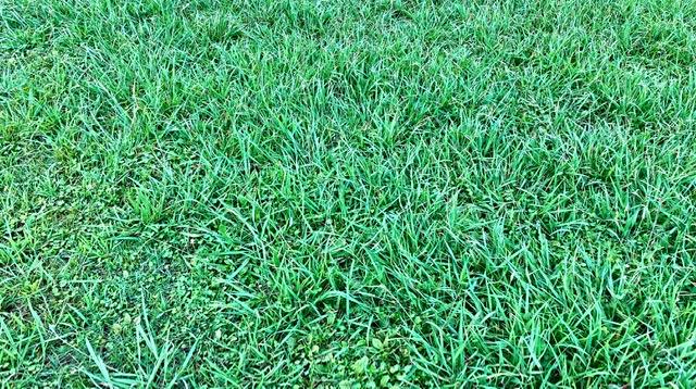 多摩川大師橋緑地陸上トラックの芝